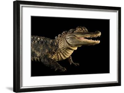 An American Alligator, Alligator Mississippiensis, at the Lincoln Children's Zoo.-Joel Sartore-Framed Photographic Print