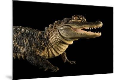 An American Alligator, Alligator Mississippiensis, at the Lincoln Children's Zoo.-Joel Sartore-Mounted Photographic Print