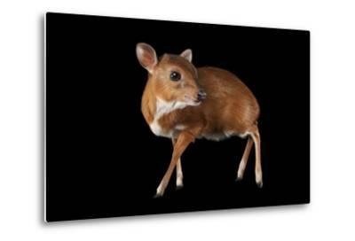 A Royal Antelope, Neotragus Pygmaeus, Smallest of All Antelopes, at the Los Angeles Zoo.-Joel Sartore-Metal Print