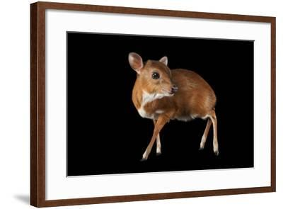 A Royal Antelope, Neotragus Pygmaeus, Smallest of All Antelopes, at the Los Angeles Zoo.-Joel Sartore-Framed Photographic Print