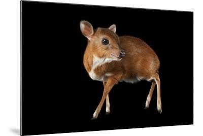 A Royal Antelope, Neotragus Pygmaeus, Smallest of All Antelopes, at the Los Angeles Zoo.-Joel Sartore-Mounted Photographic Print
