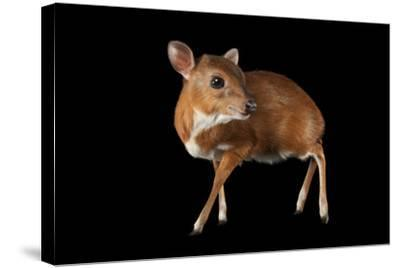 A Royal Antelope, Neotragus Pygmaeus, Smallest of All Antelopes, at the Los Angeles Zoo.-Joel Sartore-Stretched Canvas Print