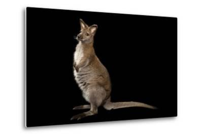 A Red-Necked Wallaby, Macropus Rufogriseus, at Lincoln Childern's Zoo.-Joel Sartore-Metal Print