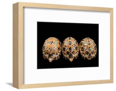 Three Critically Endangered, Yearling Radiated Tortoises, Astrochelys Radiata.-Joel Sartore-Framed Photographic Print