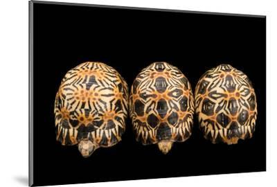 Three Critically Endangered, Yearling Radiated Tortoises, Astrochelys Radiata.-Joel Sartore-Mounted Photographic Print