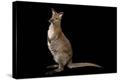 A Red-Necked Wallaby, Macropus Rufogriseus, at Lincoln Childern's Zoo.-Joel Sartore-Stretched Canvas Print