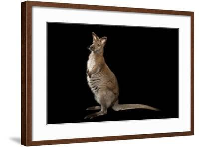 A Red-Necked Wallaby, Macropus Rufogriseus, at Lincoln Childern's Zoo.-Joel Sartore-Framed Photographic Print