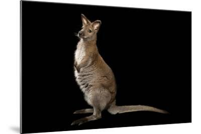 A Red-Necked Wallaby, Macropus Rufogriseus, at Lincoln Childern's Zoo.-Joel Sartore-Mounted Photographic Print