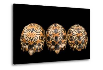 Three Critically Endangered, Yearling Radiated Tortoises, Astrochelys Radiata.-Joel Sartore-Metal Print
