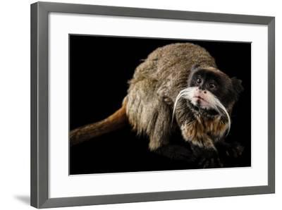 A Vulnerable Emperor Tamarin, Saguinus Imperator, at the Dallas World Aquarium.-Joel Sartore-Framed Photographic Print