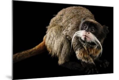 A Vulnerable Emperor Tamarin, Saguinus Imperator, at the Dallas World Aquarium.-Joel Sartore-Mounted Photographic Print