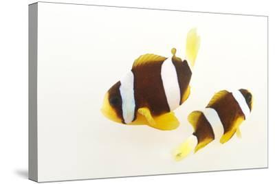 Two Clark's Anemonefish, Amphiprion Clarkii, at Pure Aquariums.-Joel Sartore-Stretched Canvas Print