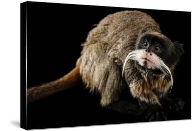 A Vulnerable Emperor Tamarin, Saguinus Imperator, at the Dallas World Aquarium.-Joel Sartore-Stretched Canvas Print
