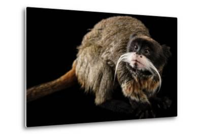 A Vulnerable Emperor Tamarin, Saguinus Imperator, at the Dallas World Aquarium.-Joel Sartore-Metal Print