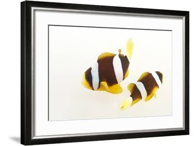 Two Clark's Anemonefish, Amphiprion Clarkii, at Pure Aquariums.-Joel Sartore-Framed Photographic Print