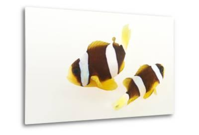 Two Clark's Anemonefish, Amphiprion Clarkii, at Pure Aquariums.-Joel Sartore-Metal Print