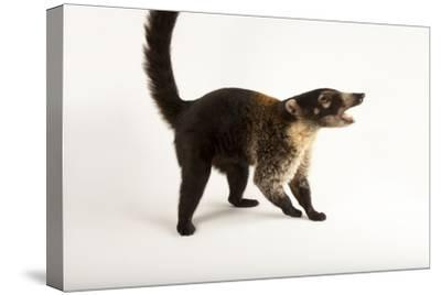 A White-Nosed Coati, Nasua Narica, at the Fort Worth Zoo.-Joel Sartore-Stretched Canvas Print