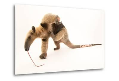 A Two Year Old Male Northern Tamandua, Tamandua Mexicana, at Summit Municipal Park.-Joel Sartore-Metal Print