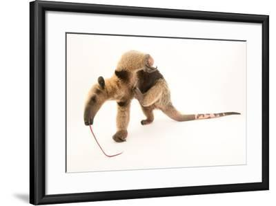 A Two Year Old Male Northern Tamandua, Tamandua Mexicana, at Summit Municipal Park.-Joel Sartore-Framed Photographic Print