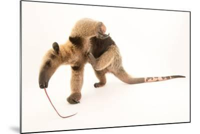 A Two Year Old Male Northern Tamandua, Tamandua Mexicana, at Summit Municipal Park.-Joel Sartore-Mounted Photographic Print