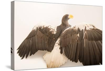 A Vulnerable Steller's Sea Eagle, Haliaeetus Pelagicus, at the Los Angeles Zoo.-Joel Sartore-Stretched Canvas Print