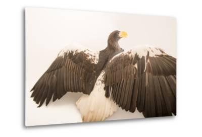 A Vulnerable Steller's Sea Eagle, Haliaeetus Pelagicus, at the Los Angeles Zoo.-Joel Sartore-Metal Print