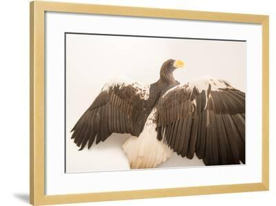 A Vulnerable Steller's Sea Eagle, Haliaeetus Pelagicus, at the Los Angeles Zoo.-Joel Sartore-Framed Photographic Print