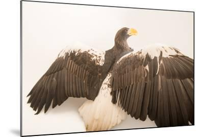 A Vulnerable Steller's Sea Eagle, Haliaeetus Pelagicus, at the Los Angeles Zoo.-Joel Sartore-Mounted Photographic Print