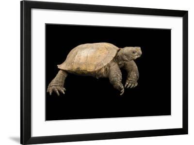 An Arakan Forest Turtle, Heosemys Depressa, at the Saint Louis Zoo.-Joel Sartore-Framed Photographic Print