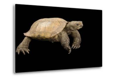 An Arakan Forest Turtle, Heosemys Depressa, at the Saint Louis Zoo.-Joel Sartore-Metal Print