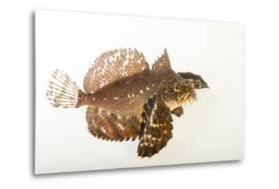 A Crested Sculpin, Blepsias Bilobus, at the Alaska Sealife Center.-Joel Sartore-Metal Print