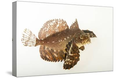 A Crested Sculpin, Blepsias Bilobus, at the Alaska Sealife Center.-Joel Sartore-Stretched Canvas Print