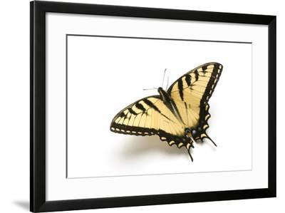A Male Tiger Swallowtail Butterfly, Papilio Glaucas.-Joel Sartore-Framed Photographic Print