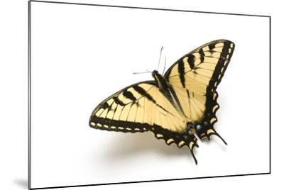 A Male Tiger Swallowtail Butterfly, Papilio Glaucas.-Joel Sartore-Mounted Photographic Print