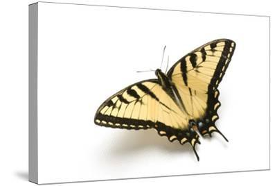 A Male Tiger Swallowtail Butterfly, Papilio Glaucas.-Joel Sartore-Stretched Canvas Print