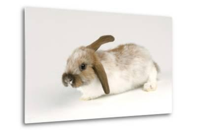 A Mini Lop-Eared Rabbit, Oryctolagus Cuniculus, at the Safari Land Pet Store.-Joel Sartore-Metal Print