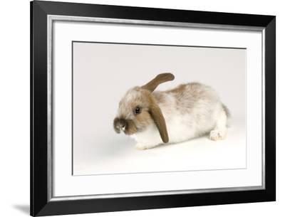 A Mini Lop-Eared Rabbit, Oryctolagus Cuniculus, at the Safari Land Pet Store.-Joel Sartore-Framed Photographic Print