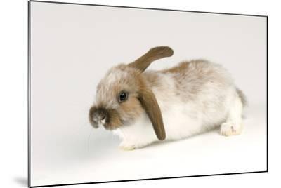 A Mini Lop-Eared Rabbit, Oryctolagus Cuniculus, at the Safari Land Pet Store.-Joel Sartore-Mounted Photographic Print