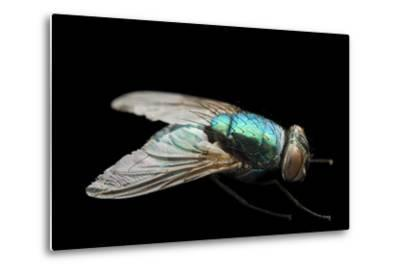 A Studio Portrait of a Fly in Lincoln, Nebraska.-Joel Sartore-Metal Print