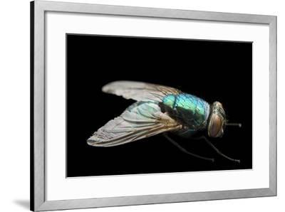 A Studio Portrait of a Fly in Lincoln, Nebraska.-Joel Sartore-Framed Photographic Print