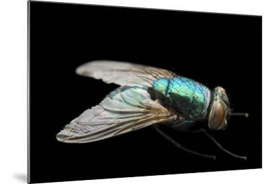 A Studio Portrait of a Fly in Lincoln, Nebraska.-Joel Sartore-Mounted Photographic Print