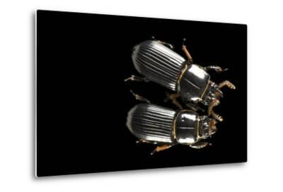 Bess Beetles or Leather Beetles, Odontotaenius Disjunctus.-Joel Sartore-Metal Print
