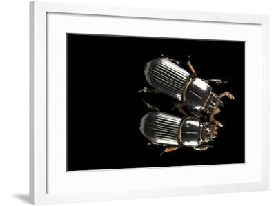 Bess Beetles or Leather Beetles, Odontotaenius Disjunctus.-Joel Sartore-Framed Photographic Print
