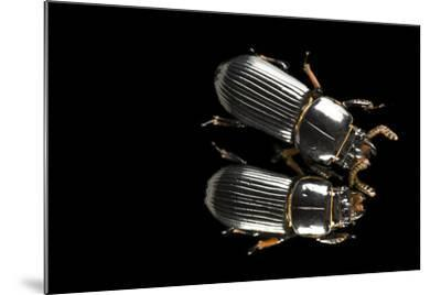 Bess Beetles or Leather Beetles, Odontotaenius Disjunctus.-Joel Sartore-Mounted Photographic Print