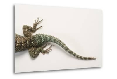 Back End of a Crevice Spiny Lizard, Sceloporus Poinsettii.-Joel Sartore-Metal Print