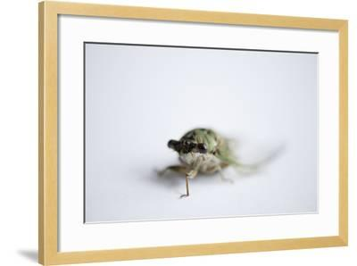 An Annual Cicada or Dog-Day Cicada, Tibicen Canicularis.-Joel Sartore-Framed Photographic Print