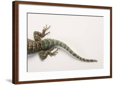 Back End of a Crevice Spiny Lizard, Sceloporus Poinsettii.-Joel Sartore-Framed Photographic Print