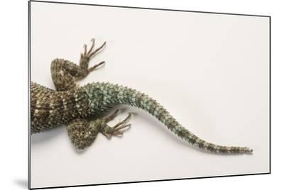 Back End of a Crevice Spiny Lizard, Sceloporus Poinsettii.-Joel Sartore-Mounted Photographic Print