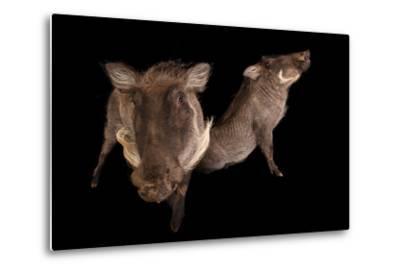 Two 8-Month-Old Common Warthogs, Phacochoerus Africanus, at the Columbus Zoo.-Joel Sartore-Metal Print