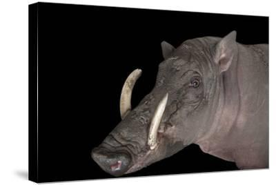 A Vulnerable North Sulawesi Babirusa, Babyrousa Celebensis, at the Audubon Zoo.-Joel Sartore-Stretched Canvas Print